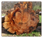 COPPER BEECH LOG BUTT (WET TO SHOW COLOR)